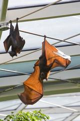 Cynopterus titthaecheileus - Pipistrello naso corto indonesiano