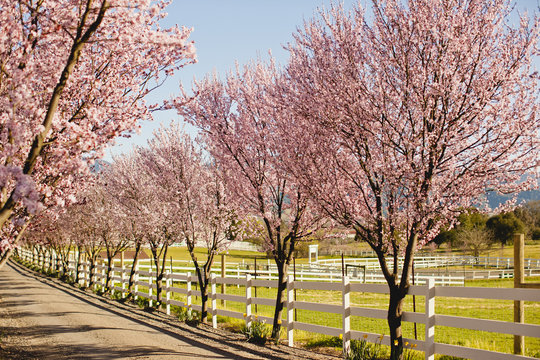 Cherry blossoms lining a rural road.