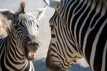 Equus burchelli - Zebra di Grant