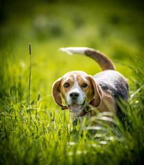 Beagle in the long grass