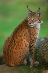 Felis lynx - Lince