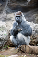 Gorilla gorilla - Gorilla