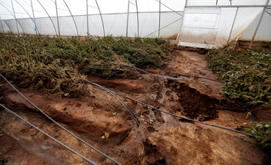 Rose flowers are seen destroyed inside a greenhouse at the Solai farm after their dam burst its walls, overrunning nearby homes, in Solai town near Nakuru