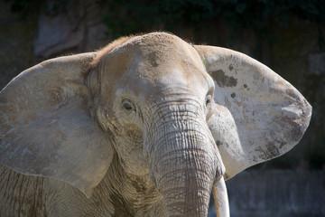 Loxodonta africana - Elefante africano