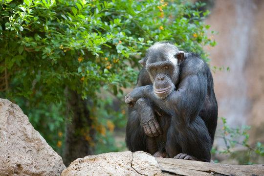 Pan troglodytes - Scimpanze