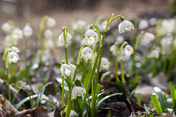 Leucojum vernum flowers, early spring snowflakes on the meadow