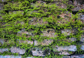 Massive wall background with green plants. Mossy rustic stone wall closeup photo texture.