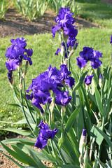 Iris bleu indigo au jardin au printemps