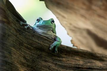 Frog in dry leaf