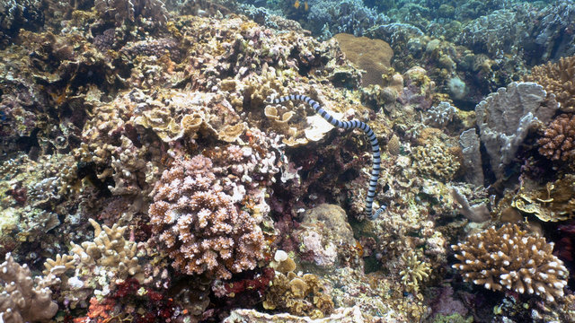 Sea snake on coral reef. Banded Sea Snake underwater.Wonderful and beautiful underwater world. Diving and snorkeling in the tropical sea.