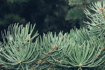 Fir-tree needles close up texture background frame