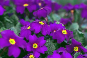 Primrose flower primula purple spring close up