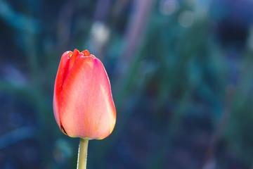 Tulip flower red spring flowerbed close up