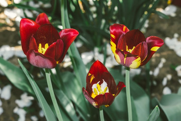Tree Tulips flower dark red spring flowerbed close up