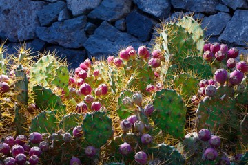 cactus Opuntia with flowers and light illumination