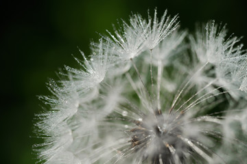 Canvas Prints Dandelions and water closeup of dandelion parachutes on green grass background