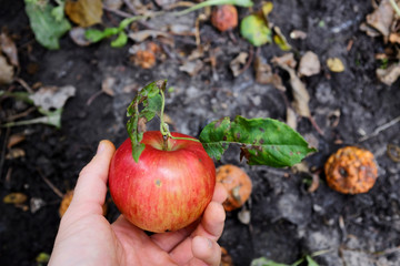 Apple, fallen to the ground organic and natural products from the farm. Near the rotted apples