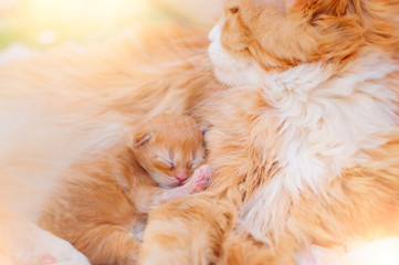 Red cat with a small ginger kitten.