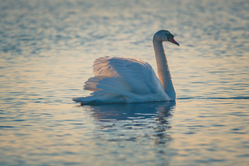 Swan floating on the water  at sunrise. Baltic Sea