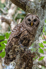 Barred Owl Adult