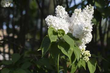 White lilac flowers with green leaves.