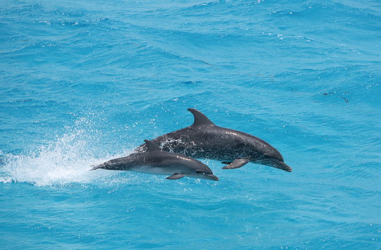 Adult and baby dolphin