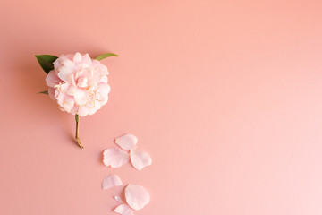 High angle view of wilting Japanese camellia flower with scattered petals on pink background (selective focus)