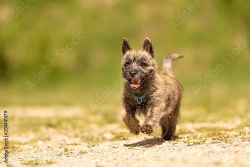 Cairn Terrier Puppy 13 Weeks Old Cute Little Dog Runs Over A