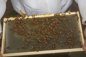 A close up view of a honey bee hive frame.