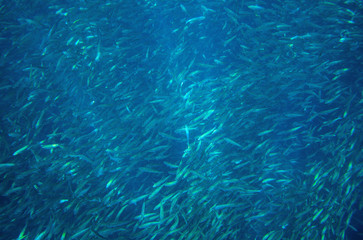 Sea sardine school in ocean. Massive fish school undersea photo. Pelagic fish school swimming in seawater