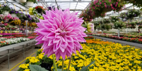 close up of pink dahlia flower with interior greenhouse background