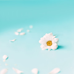 white flower daisy on blue background, spring time, happy