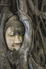 The root around the head of buddha at wat mahathat temple,AYUTTHAYA THAILAND.