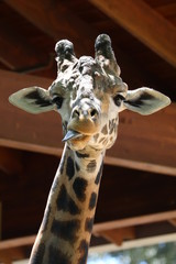 Giraffe with tongue