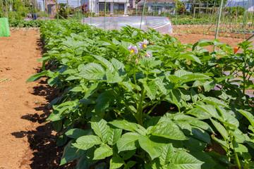 成長した野菜の苗