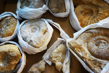 ammonites fossil collection texture