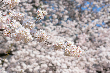 Cherry blossom is famous season in Japan.A lot of travelers come to Tokyo to see the Cherry blossom bloom.