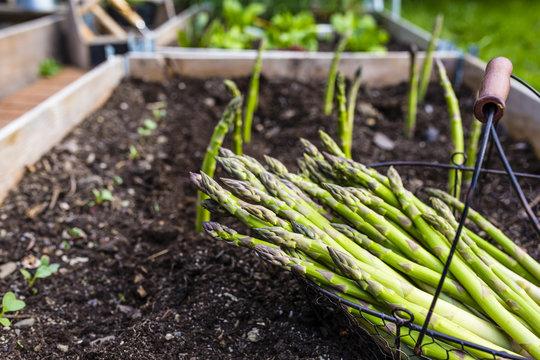 Young green asparagus grown in the garden.