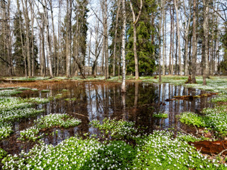 Wall Mural - Spring landscape with flooded trees. Farnebofjarden national park in Sweden.