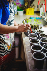 planting seeds at home in special containers. a woman in the kitchen sits plants