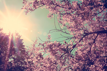 Cherry blossoms and sun in the sky. Retro effect. Romantic spring background.