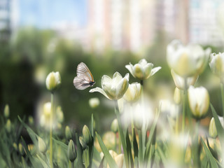 Beautiful white tulips on a flowerbed in the city. Beautiful butterfly