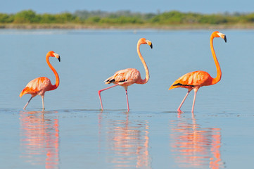 A row of American flamingos (Phoenicopterus ruber ruber American Flamingo) in the Rio Lagardos, Mexico.