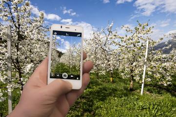 Fotografare la fioritura dei ciliegi con smartphone