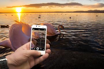 Cigno sul lago con smartphone