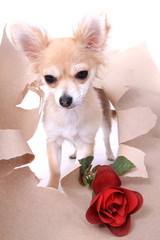 small chihuahua and rose isolated