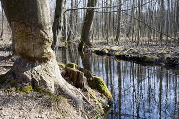 drzewo nad strugą zniszczone przez bobry