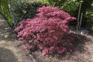 Acer palmatum or Japanese maple shrub growing  an oramental garden with gravel surround.