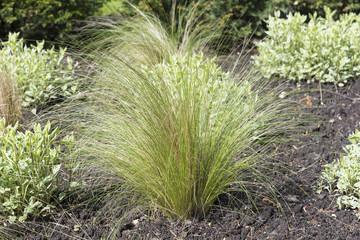 Decorative ornamental grasses and shrubs set out in a landscaped garden.