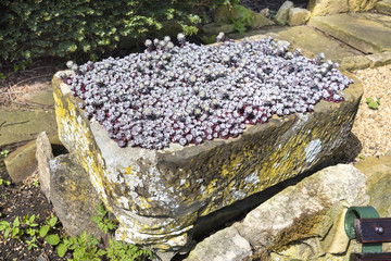 Small stone trough container full of purple flowering saxifrage alpine plants.